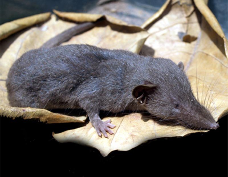 Cách diệt chuột chù