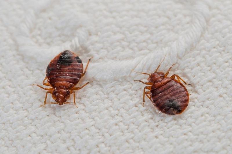Cách diệt rệp giường