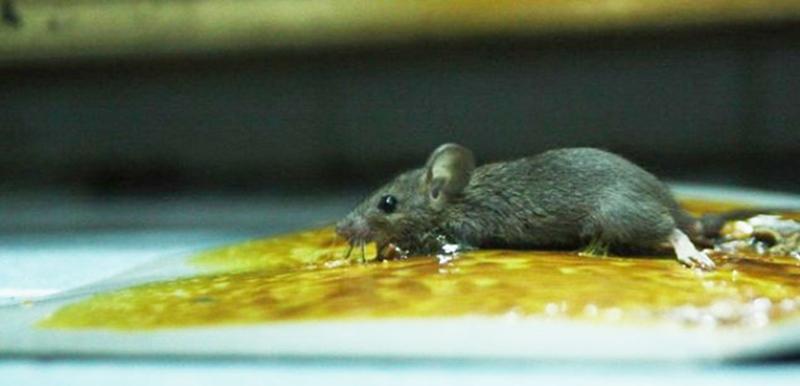 Cách tẩy keo dính chuột