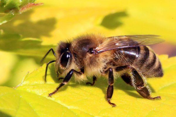 loài ong có bao nhiêu mắt ?
