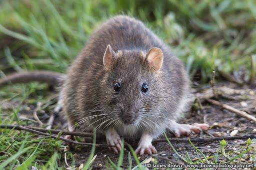 tuổi thọ của chuột bao lâu